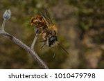 a male red mason bee  osmia... | Shutterstock . vector #1010479798