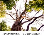 vertical photo of an old tree... | Shutterstock . vector #1010488834