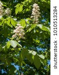 Panicles Of Horse Chestnut...