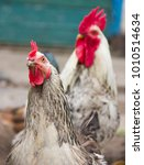 curious chicken and rooster in... | Shutterstock . vector #1010514634