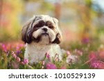 Portrait Of A Shih Tzu  Shot I...