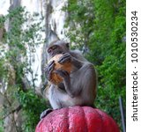 Small photo of Adult macaque eating some coconut flesh while sitting on a pedestal that is located at the steps to Batu Caves, a Hindu temple near Kuala Lumpur, Malaysia