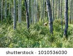 grizzly in forest | Shutterstock . vector #1010536030