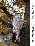 a eurasian lynx looking at...   Shutterstock . vector #1010561668