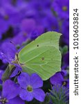 Small photo of portrait of a brimstone butterfly at rest