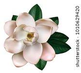 beautiful light pink magnolia... | Shutterstock .eps vector #1010629420