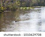 Small photo of Nile Crocodile swimming through water/Crocodile/Nile Crocodile (Crocodylus Niloticus)