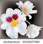 orchid flowers miltoniopsis... | Shutterstock .eps vector #1010637484