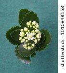 Small photo of Kalanchoe plant on green background, Kalanchoe blossfeldiana