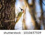 European Green Woodpecker ...
