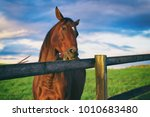 Horse Chews The Wooden Fence....