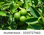Growing Limes Under Tropical Sun