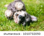 a happy  playful mixed breed... | Shutterstock . vector #1010732050