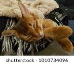 sleeping  brown cat  somali cat  | Shutterstock . vector #1010734096