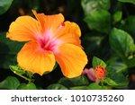 hibiscus flower at beautiful in ... | Shutterstock . vector #1010735260
