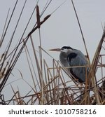 A Great Blue Heron Hunkering...