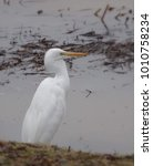 Small photo of Soft focus photo of an American egret standing lakeside in winter; Green Valley Park in Payson, Arizona