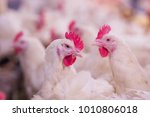 poultry farming for the purpose ...   Shutterstock . vector #1010806018