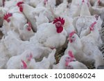 poultry farming for the purpose ...   Shutterstock . vector #1010806024