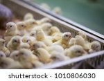 baby chicken  poultry farming...   Shutterstock . vector #1010806030