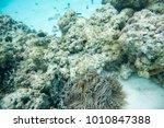 clown fish and surgeonfish... | Shutterstock . vector #1010847388