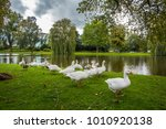 gooses are looking for foods at ... | Shutterstock . vector #1010920138
