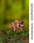 armillaria ostoyae solidipes... | Shutterstock . vector #1010920150