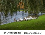 gooses are looking for foods at ... | Shutterstock . vector #1010920180