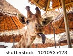 Stock photo close up portrait of a weird funny face giraffe 1010935423