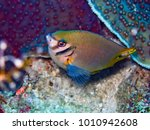 Small photo of Amblyglyphidodon aureus Golden Damselfish Adults occur in steep outer reef occasionally in deep lagoons and along channel walls usually in current prone habitats and where there are abundant gorgonian