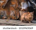 a beautiful cat in indian...   Shutterstock . vector #1010965069