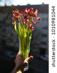 Small photo of Limp tulip bouquet backlit by sunlight