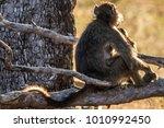 baboons on tree | Shutterstock . vector #1010992450