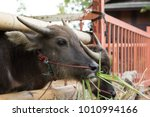 water buffalo eating hay in the ... | Shutterstock . vector #1010994166