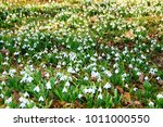 snowdrops field in forest | Shutterstock . vector #1011000550