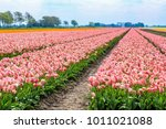 Plantation Of Tulips At The...