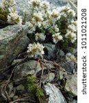 Small photo of Flowers of chickweed (Paronychia)
