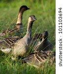 Family Of Feeding Nene On Grass