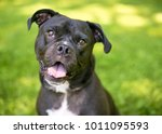 portrait of a mixed breed... | Shutterstock . vector #1011095593