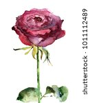 picturesque watercolor rose on... | Shutterstock . vector #1011112489