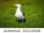 big seagull standing on green... | Shutterstock . vector #1011114238
