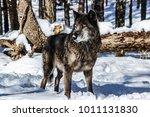 female timber wolf enjoying the ... | Shutterstock . vector #1011131830