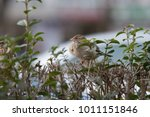 the house sparrow  passer... | Shutterstock . vector #1011151846