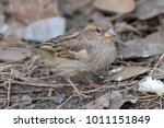 the house sparrow  passer... | Shutterstock . vector #1011151849