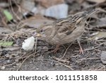 the house sparrow  passer... | Shutterstock . vector #1011151858