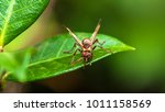 paper wasp on a leaf. | Shutterstock . vector #1011158569