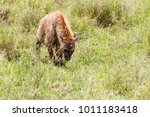 the spotted hyena  crocuta... | Shutterstock . vector #1011183418