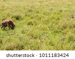 the spotted hyena  crocuta... | Shutterstock . vector #1011183424