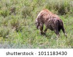 the spotted hyena  crocuta... | Shutterstock . vector #1011183430