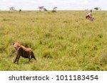 the spotted hyena  crocuta... | Shutterstock . vector #1011183454